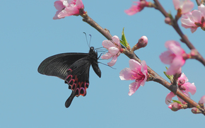 Papilio hopponis, butterfly, Swallowtail