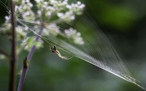 spider, web, background