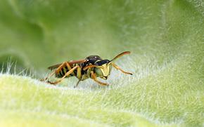Macro, insect, wasp