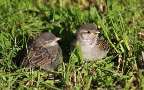 птица, воробей, воробушек, жолторотик, трава
