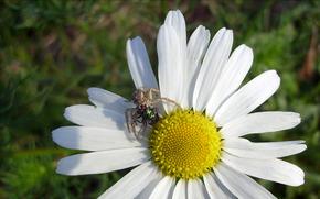 Macro, fiore, camomilla, Petali, ragno, volare
