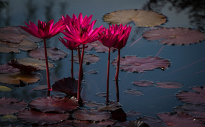 Fiori, loto, pond, Coastal Georgia Botanical Garden