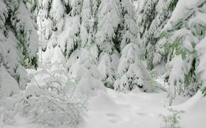 abeti innevati, foresta, inverno