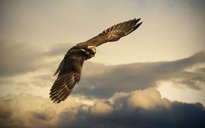 орёл, небо, полёт