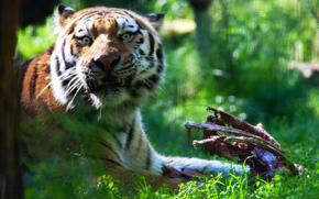 Tiger, alaska, Zoo