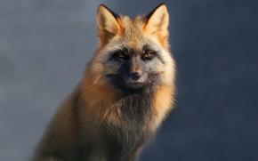 fox, Red Fox, alaska, Zoo