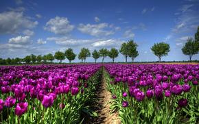 Paesi Bassi, alberi, campo, TULIPANI, PRIMAVERA