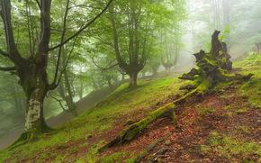 foresta, nebbia, alberi, muschio, erba, natura