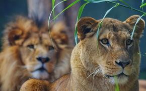 leone, leonessa, animali