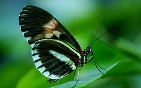бабочка, лист, макро