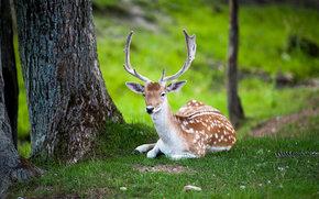cervo, cervo, riposo, Tremblant, Quebec, Canada