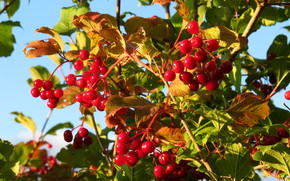 red, BERRY, viburnum, foliage