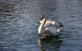 cigno, giovane, uccello, acqua