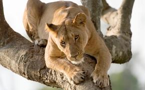 leonessa, albero, predatore