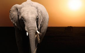 закат, слон, животное