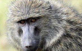 singe, babouin, olive