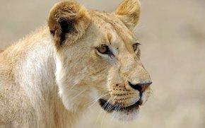 leonessa, visualizzare, gatto