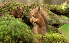 tuffty, rosso, scoiattolo, scoiattolo, Scozia, GB