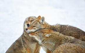 Coyote Abbraccio, Montebello, Quebec, Canada, coyote