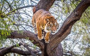 Jai, Sumatran, Tiger, tiger, Tree, Phoenix, Zoo, Arizona, USA