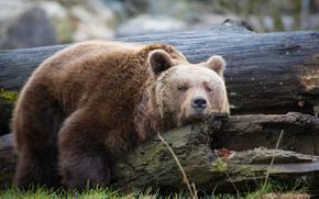 Rosolare, sopportare, rosolare, sopportare, Zoo di Straubing, Baviera, Germania