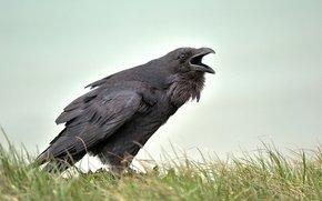 Raven, corneille, corbeau, Seaford, angleterre, GB