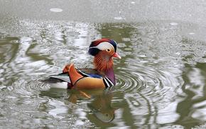 pasăre, rață, mandarin, de apă, gheață, reflecție