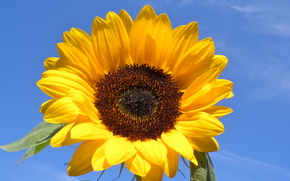 sunflower, flower, sky