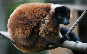 рыжий вари, лемур, red ruffed lemur, Miller Park Zoo, Bloomington, Illinois, USA