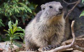 сурок, marmot, La Mont, Rhone-Alpes, France