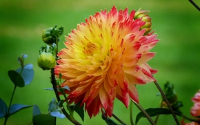 flower, dahlia, flora