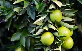 柠檬, 支, 叶子, 性质