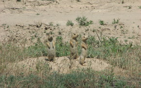Gophers, steppe, sand