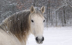 horse, snow, winter, forest