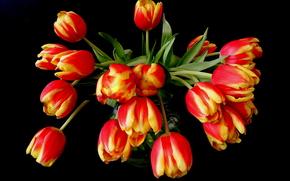 TULIPS, Flowers, flora, black background