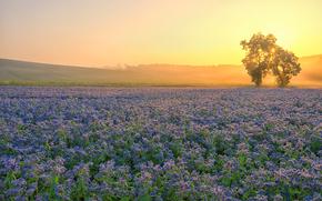 sunset, field, Flowers, trees, landscape