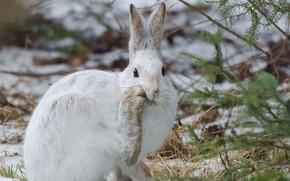 Hare racchette da neve, lepre, racchetta da neve, Sault Ste.. marie, Ontario, Canada