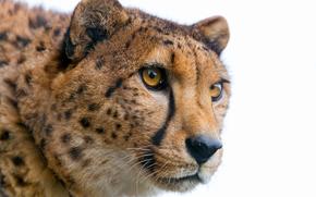 ghepardo, Cheetah, Zoo di Toni, Hochdorf, Canton Lucerna, Svizzera