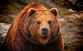 Kamchatka, Brown, Bear, камчатский, бурый, медведь