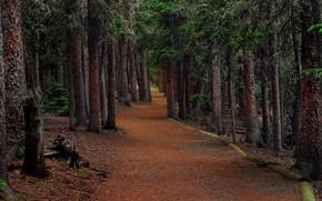 лес, деревья, дорога, ели, пейзаж