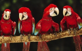 Animali, animale, uccelli, uccello, rosso, pappagalli