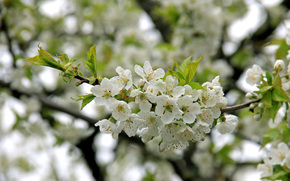 branch, Flowers, cherry