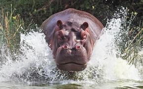 hippopotame, hippo, rivière, pulvérisation