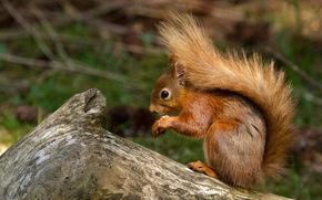 scoiattolo rosso, Yorkshire, inghilterra, GB