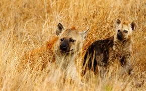 Iene adulti e minorenni, Kruger Park, Sud Africa