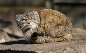 Il gatto di Pallas, manul, Parken Zoo di Eskilstuna, Svezia