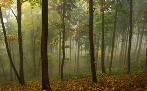 pădure, ceață, toamnă, copaci, peisaj