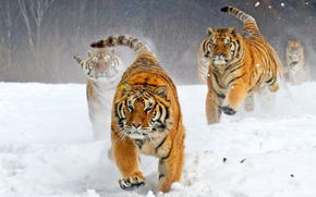 cat, large, Photographer doprygalsya