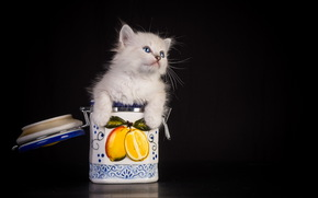 animals, animal, cats, cat, kitten, funny, jar