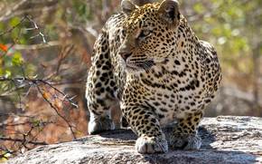 female, leopard, Mala Mala, Kruger National Park, South Africa